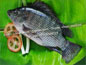 SOUTH CHINA SEAFOOD CO., LIMITED-TILAPIA